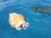 Killer Shark Devours Turtle in Hawaii Kai Waters